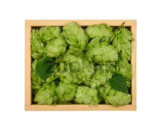 Wooden box of fresh green hops isolated on white