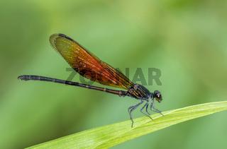 Euphaea Ochracea, Damselfly, Garo Hills, Meghalaya, India