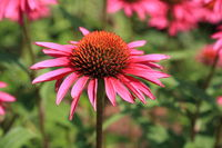 Blooming red echinacea