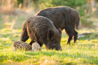 Tranquil herd of wild boar with piglets feeding on meadow in springtime
