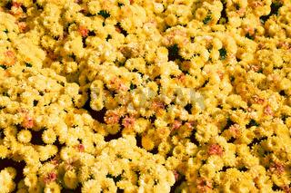 Yellow chrysanthemum flower field background