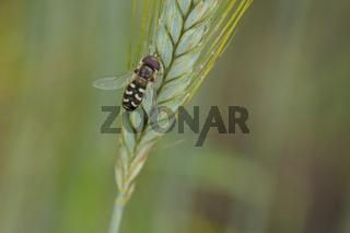 Späte Großstirnschwebfliege (scaeva pyrastri)