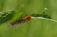 Caterpillar from Garden tiger moth