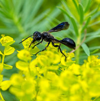 Macro of a black grass-carrying wasp