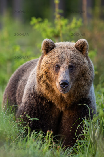 Vertical portrait of brown bear observing in green grass from front