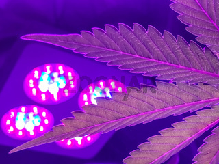 Indoor Cannabis growing Pink and Purple leaves