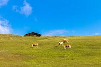 Haflinger horses on Seiser Alm, Alpe di Siusi, South Tyrol