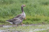 Greylag Goose pair, Anser anser