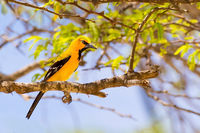 South American Yellow Oriole sitting in tree