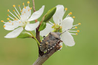 Mottled shieldbug (Rhaphigaster nebulosa)