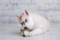 Funny puppy husky breed of light color gnaws dried pork and beef ears. Natural chewing treats for dogs. Production and trade in pet products. Siberian husky baby girl enjoying bone for cleaning teeth