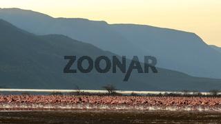 wide view of flamingos on the shore of lake bogoria, kenya