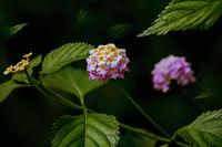Lantana - perennial flowering plants