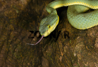 Bamboo Pit Viper Flicking tongue, Trimeresurus gramineus, Matheran, Maharashtra, India
