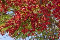 Flame tree (Delonix regia)