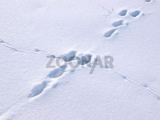 Hasenspur kreuzt Krähenspur im Schnee