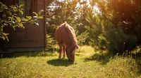 Little charming light brown pony horse pinches green grass outdoor garden yard near lodge in a countryside farmland or ranch.
