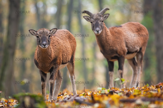 Two young mouflons standing in forest in autumn.