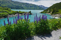 garden lupin at the Kops reservoir in Montafon, Austria, Europe