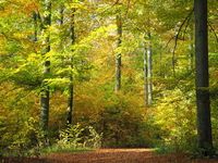 Autumn in the beech forest with colorful autumn leaves