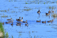 Gadwall, Northern shoveler and Garganey