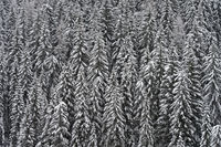 Snow-covered spruces in a forest on a grey winter day, Alta Badia, Dolomites, South Tyrol, Italy