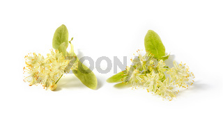 Flowering large-leaf Linden or Tilia twigs with yellow flowers.
