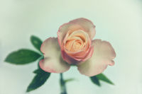 _DSC1705-xh-rose-verb.AG.jpg
