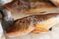Mediterranean red tub gurnard close up