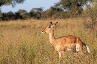 Impala antelope Namibia, africa safari wildlife