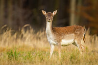 Alert fallow deer hind looking into camera on a meadow with forest in background