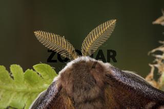 Kleines Nachtpfauenauge - Maennchen, Saturnia pavonia, small emperor moth - male