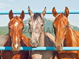 herd of young arabian fillies