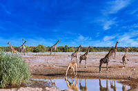 giraffes, Etosha National Park, Namibia, (Giraffa camelopardalis)