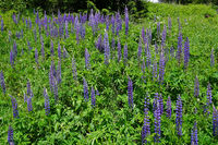large-leaved lupin in Austria, Europe
