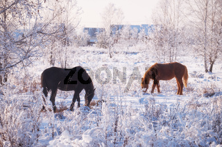 Horse grazing in the snow in winter.