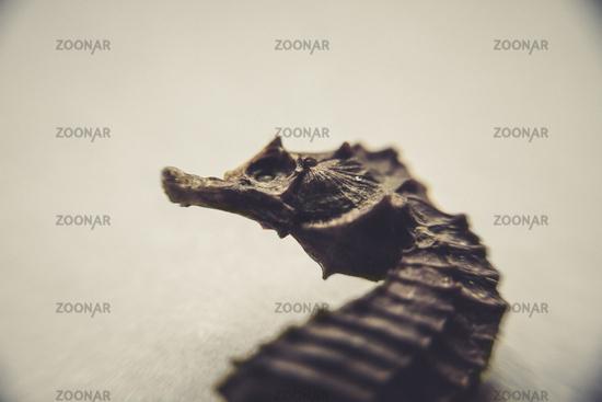Dry seahorse closeup view