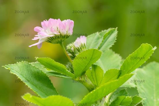 Persian clover, Trifolium resupinatum