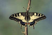 Old World Swallowtail (Papilio machaon), Switzerland