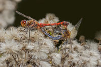 Common darter when mating  'Sympetrum striolatum'