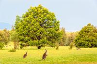 Grey kangaroos - Grampians