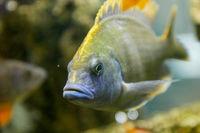 Cichlids aquarium fish