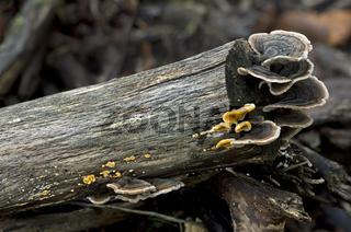 Schmetterlingstrameten (Trametes versicolor)