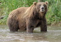 Big brown bear in river