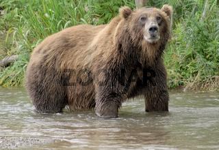 Big brown bear in river