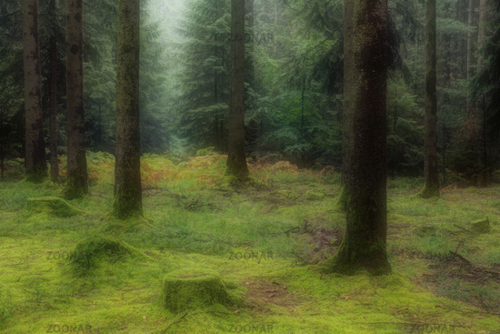 Spruce forest overgrown with moss