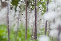 Blütenstand der Gewöhnlichen Pestwurz (Petasites hybridus) Nationalpark Kalkalpen, Oberösterreich, Österreich