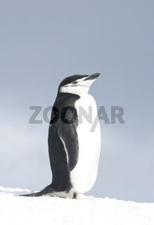 Antarctic penguin in the sky in a haze.