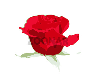 Red rose isolated on a white background. A rose is a woody perennial flowering plant of the genus Rosa, in the family Rosaceae, or the flower it bears