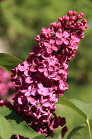 Red lilac close-up
